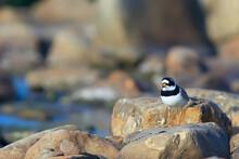 Plover Bird In Nature / Wild Migratory Bird, Small Plover Necktie