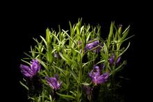 Close Up Of Lavandula Stoechas Flowers With Black Background