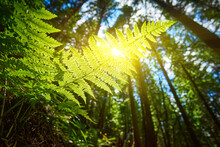 Detailed Shot Of A Beautiful Fern Leaf Illuminated By Sunbeams. Bright Spring Sunbeams Shine Through The Green Leaves Of Ferns In The Depths Of A Picturesque Pine Forest In The Mountains.