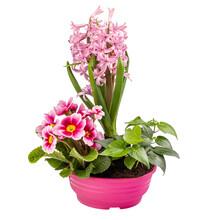 Beautiful Delicate Pink Primrose And Hyacinth Flowers