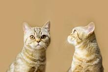 Beautiful Large British Shorthair Female Cat With Big Eyes On A Beige Background. Eco Decor Concept