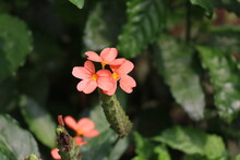 Crossandra Flower Also Called By Name Kanakambaram Which Is Commonly Found In India