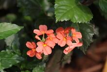 Kanakambaram Which Is Indian Flower Blossoming In Garden
