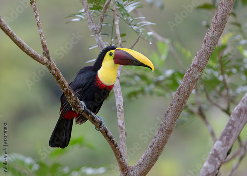 Fototapeta premium Chestnut-mandibled Toucan or Swainson's Toucan perched on a mossy branch in the tropical rainforests, Boca Tapada, Laguna de Lagarto Lodge, Costa Rica