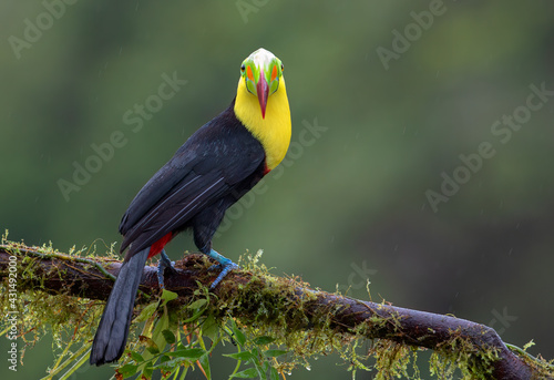 Fototapeta premium Portrait of Keel-billed Toucan (Ramphastos sulfuratus) in the rain perched on a mossy branch in the rainforests of Costa Rica