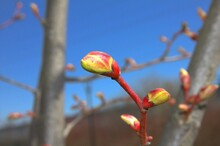 A Blossoming Tree Bud Against The Blue Sky.