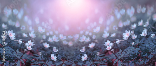 Canvas Beautiful white flowers of anemones in spring