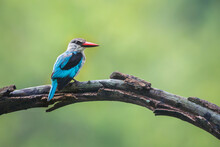 Woodland Kingfisher Standing On A Branch With Natural Background In Kruger National Park, South Africa ; Specie Halcyon Senegalensis Family Of Alcedinidae