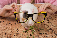 White Guinea Pig Eating Green Grass, Childrens Hands Trying On Glasses To Pig