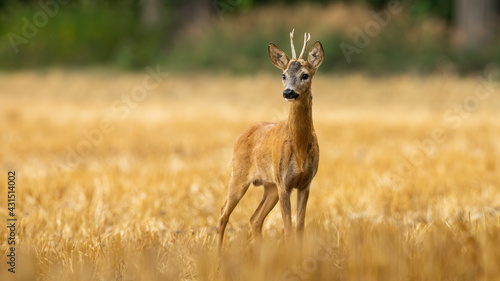 Obraz na plátně Young roe deer buck with small antlers on a stubble filed in summer