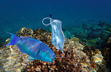 Discarded Protection Mask Hooked On Tropical Coral Reefs Branches Of The  Red Sea. Coronavirus Is Contributing To Waste And Pollution Of Oceans And Negatively Impacting On Biodiversity And Ecosystems