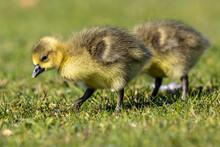 Beautiful Yellow Fluffy Greylag Goose Baby Gosling In Spring, Anser Anser
