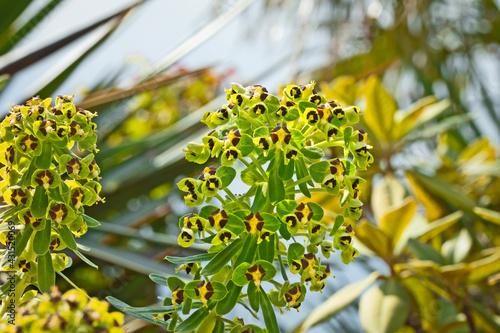Euphorbe characias ou Euphorbe des garrigues en gros plan Fototapeta
