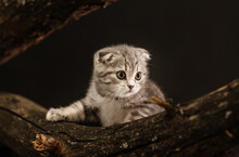 Gray Tabby Kitten Scottish Breed Sits On A Log On A Black Background