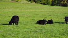 Black Wagyu Cow Group Is Relaxing After Morning Feeding In Lush Green Gras At The Bavarian Alps On A Sunny Day