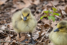 Canadian Gosling Close Up As It Walks Near Mother On A Sunny Day Near The Lake