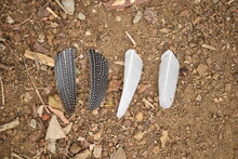 Different Color Feathers Of Guinea Fowl On Ground