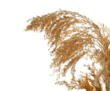 Reed Plumes, Pampas Grass Isolated On White Background With Clipping Path