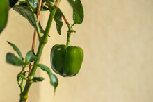 Green Round Pepper On A Tree In A Pot. There Are Small Green Leaves Around.