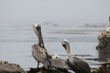 Selective Focus Shot Of The Pelicans Resting On The Shore