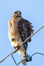 Red-shouldered Hawk Portrait Close Up Sitting Outside