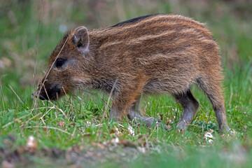 Warchlak - młody dzik w lesie