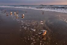 Ring-billed Gulls (Larus Delawarensis) Along The Beach In The Early Morning;  Virginia Beach, Virginia