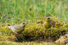 European Greenfinch Chloris Chloride Or Common Greenfinch Is A Small Songbird