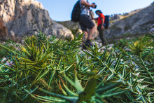 Close-up Of Wild Mediterranean Plants, With Out-of-focus Hikers In The Background On A Sunny Day.