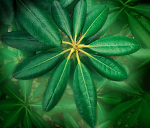 Bright Green Rhododendron Leaves. Background