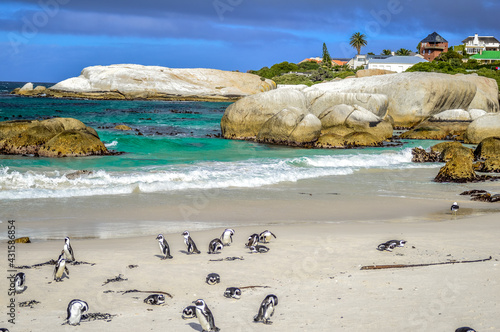 Fototapeta African cape or jackass penguin colony at boulders beach in Simon's town cape to