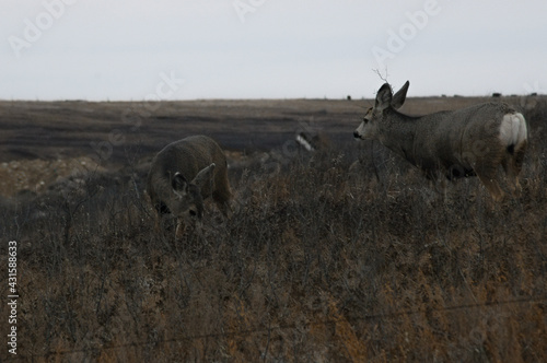 Fototapeta Selective focus shot of Siberian roe deers in a field