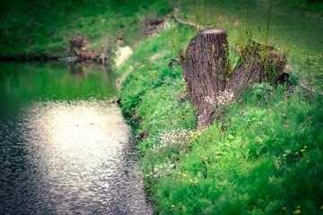 brzeg stawu, pieniek drzewa