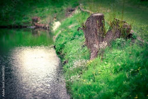 brzeg stawu, pieniek drzewa - fototapety na wymiar