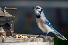 A Closeup Of A Side View Of A  Young Blue Jay Bird Perched On A Wooden Table With Multiple Peanuts At Its Feet. The Bird Has Black, Blue And White Feathers, Dark Eyes, Long Legs And A Black Beak.