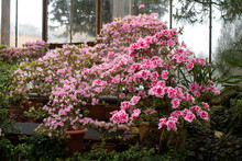 Blooming Pink Azalea Tree By The Window In The Greenhouse In The Botanical Garden