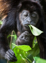 A Mother And Baby Howler Monkeys Eat Leafs In The Rainforest Canopy.