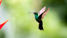 A Plumeleteer Hummingbird Hovers By The Flowers It Is Feeding On