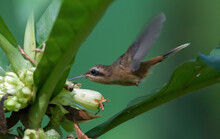 One Of The Smallest Birds In The World, A Tiny Stripe-throated Hermit Looks For Nectar Inside The Forest