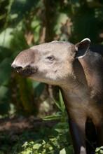 A Gentle Giant Tapir Eats Mangos In The Jungle Edge