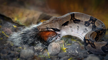 A Medium Size Boa-constrictor Snake Swallows The Tail As The Last Bit Of A Squirrel Meal.