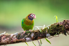 A Brown-hooded Parrot Takes A Look Back To Me