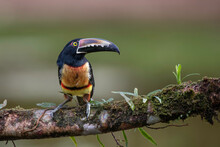 A Collared Aracari Toucan Displays Its Large Bill