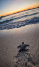 Baby Sea Turtle Just After Hatching, Philippines