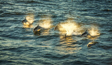 Pacific Whitesided Dolphins At Sunset (Lagenorhynchus Obliquidens)