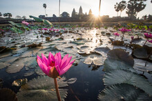 Lotus Flower And Angkor Temples In The Background, Cambodia
