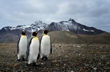 King Penguins In South Georgia (Aptenodytes Patagonicus)