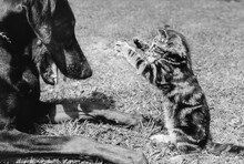 Doberman Pincer And Tabby Kitten Face To Face In Play - Black And White