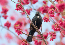 New Zealand Tui Perched In A Flowering Cherry Tree