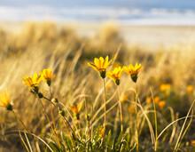 Yellow Gazania Daisy Flowers Growing On The Beach